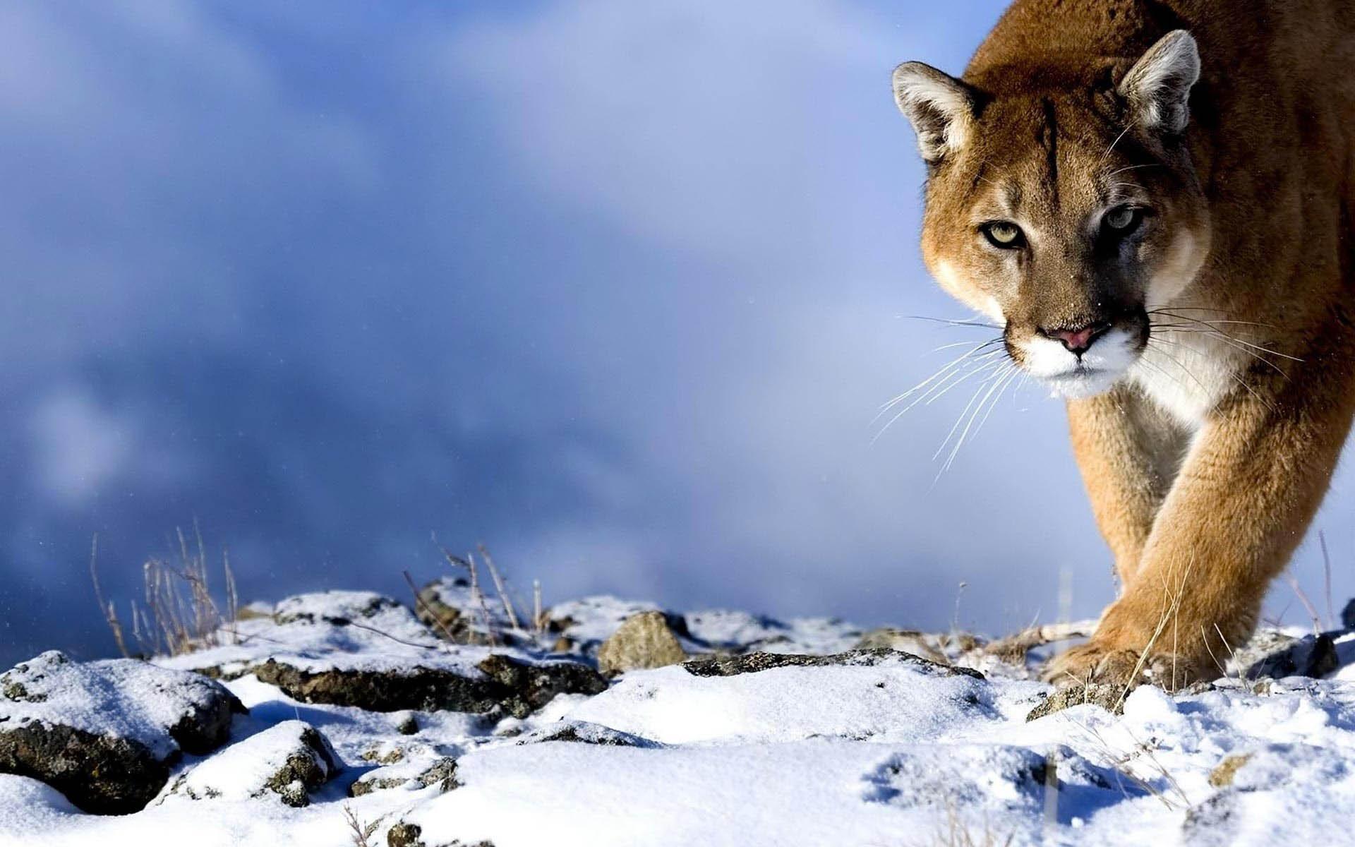 mountain lion wallpaper hd