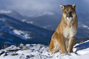 mountain lion wallpapers