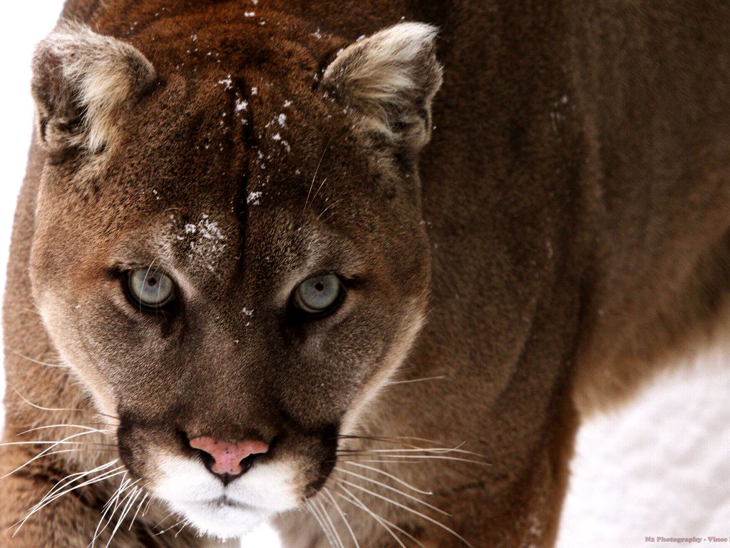 mountain lion wallpapers hd