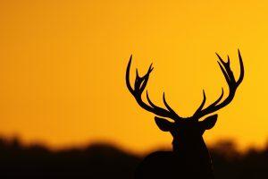 mule deer wallpapers