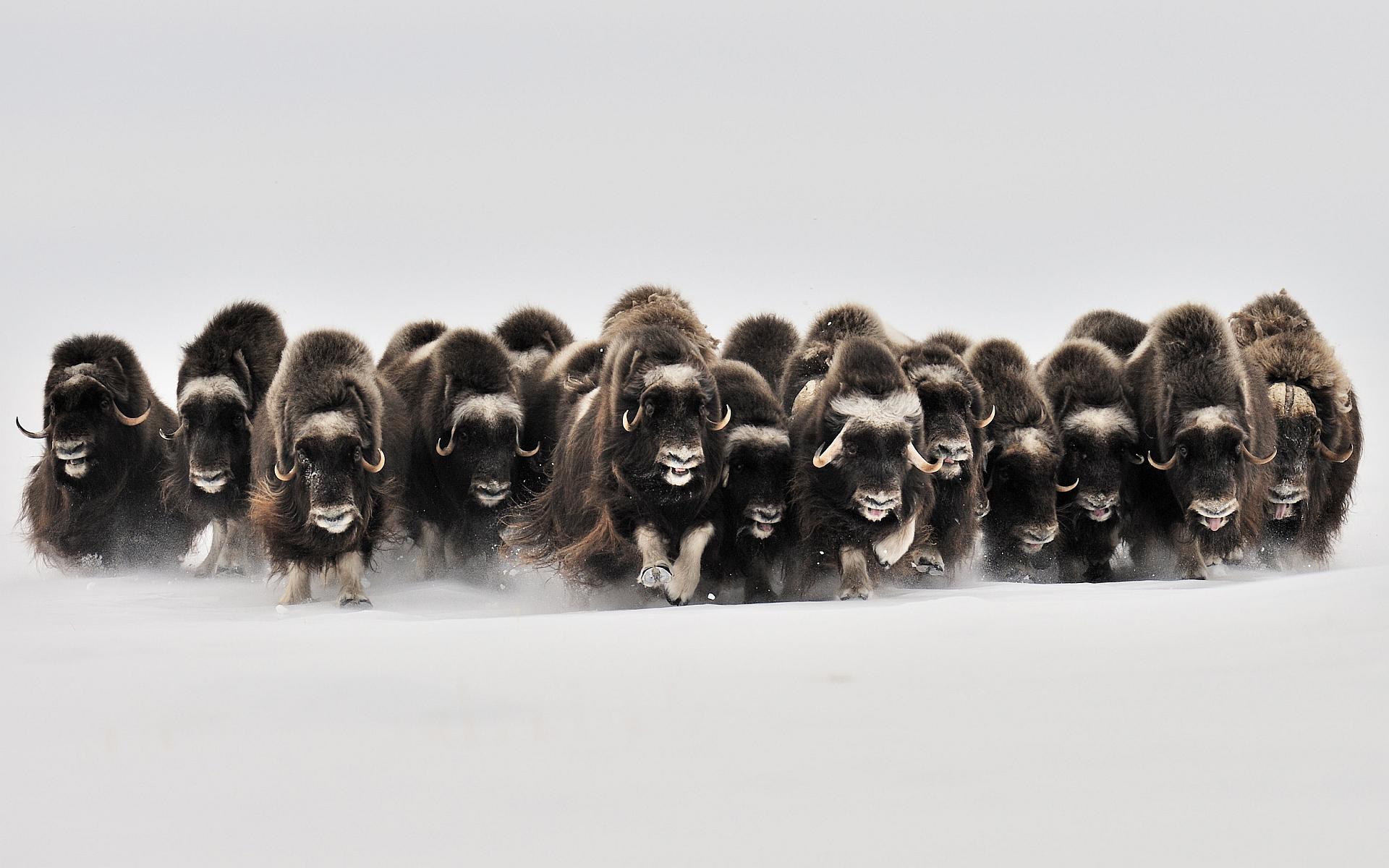 musk oxen wallpaper