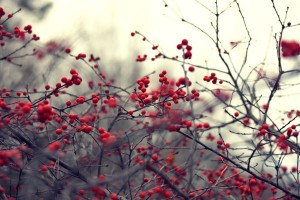 nature branches red berries
