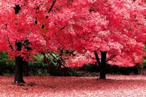 nature wallpaper pink tree