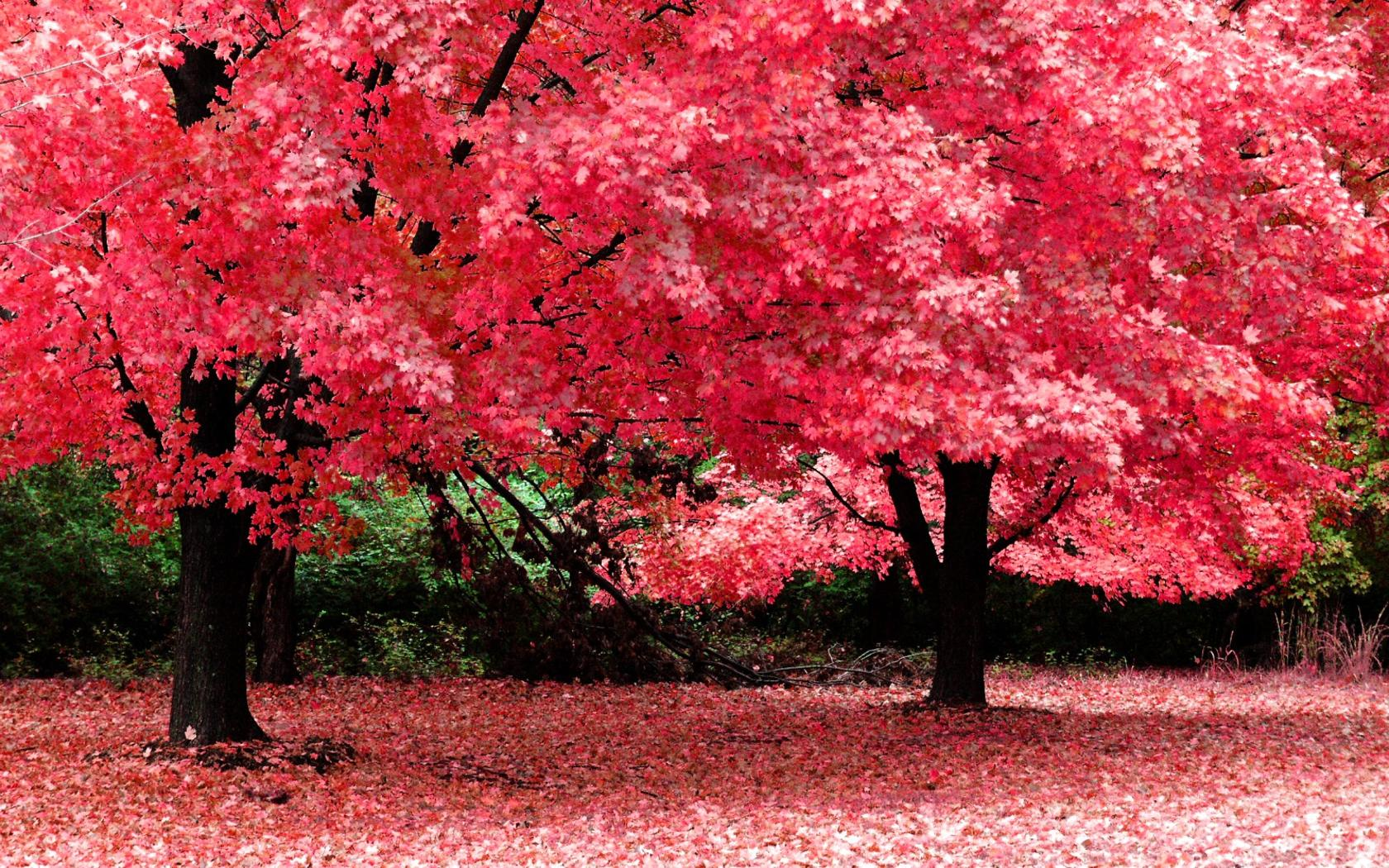 nature wallpaper pink tree