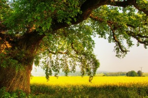 oak tree nature