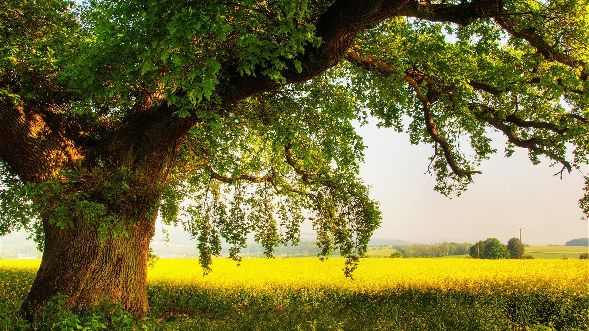 oak tree nature