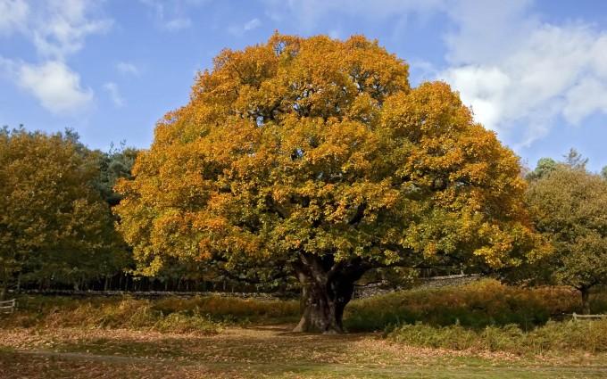 oak tree wallpaper fall