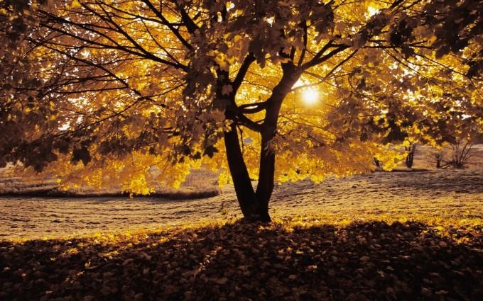 oak tree wallpaper sunrise