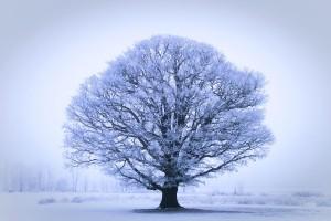 oak tree wallpaper winter