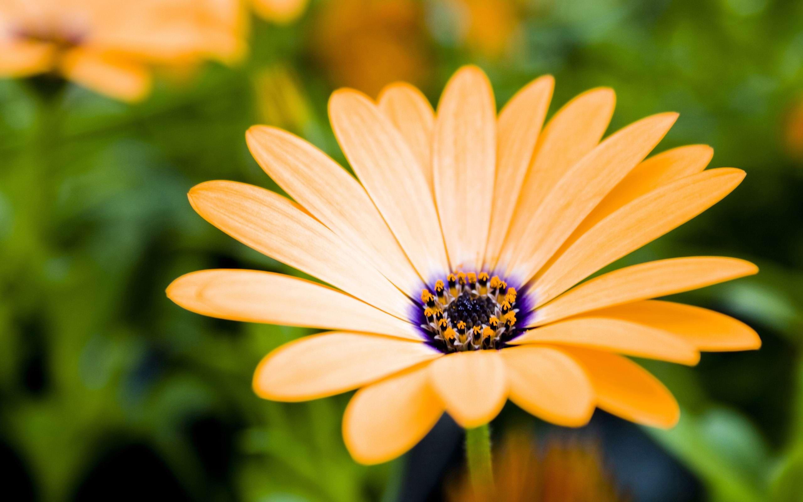 orange gerbera flower hd