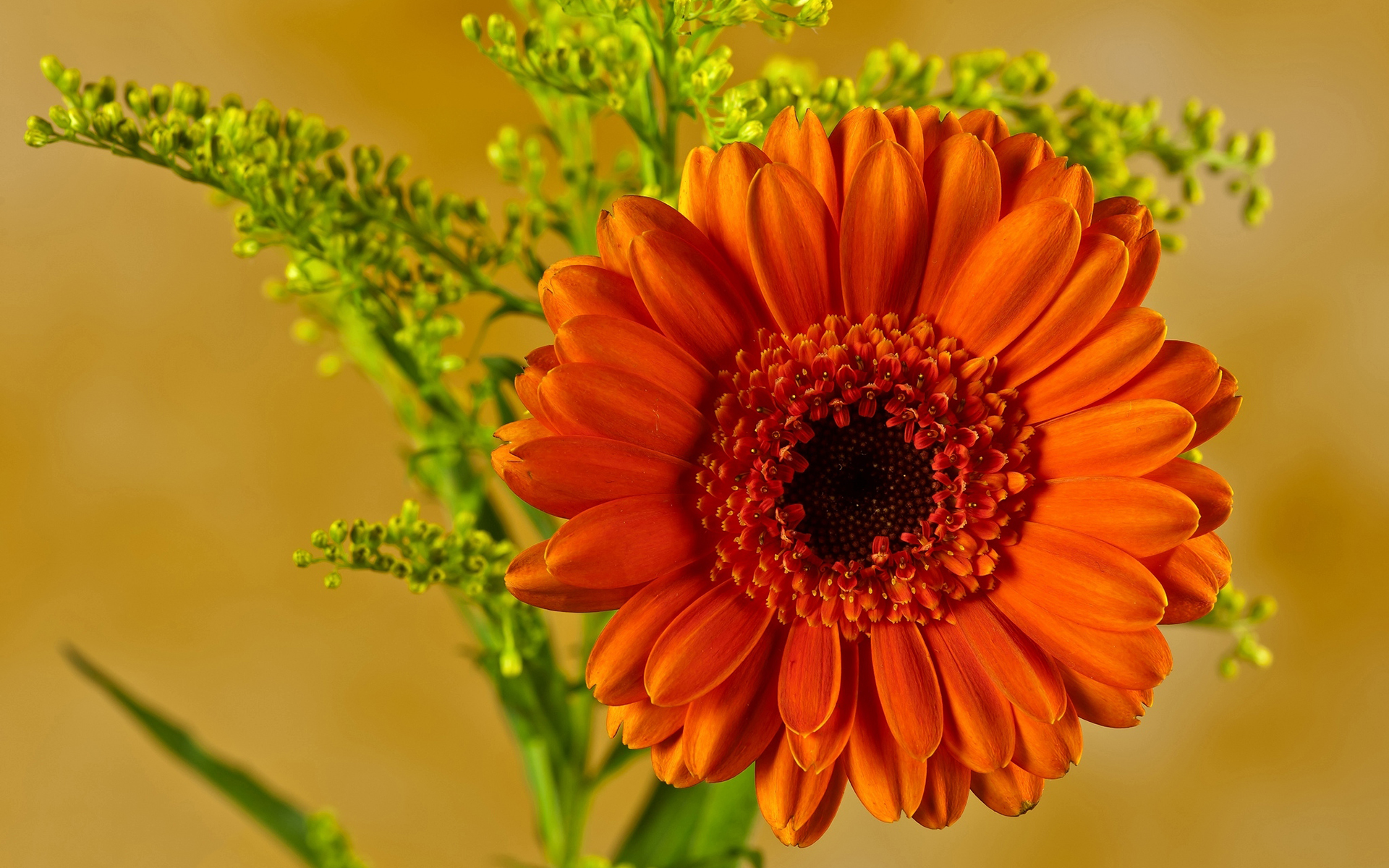 Orange Gerbera Hd Desktop Wallpapers 4k Hd