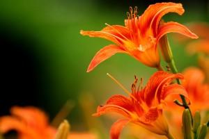 orange lilies orange flowers