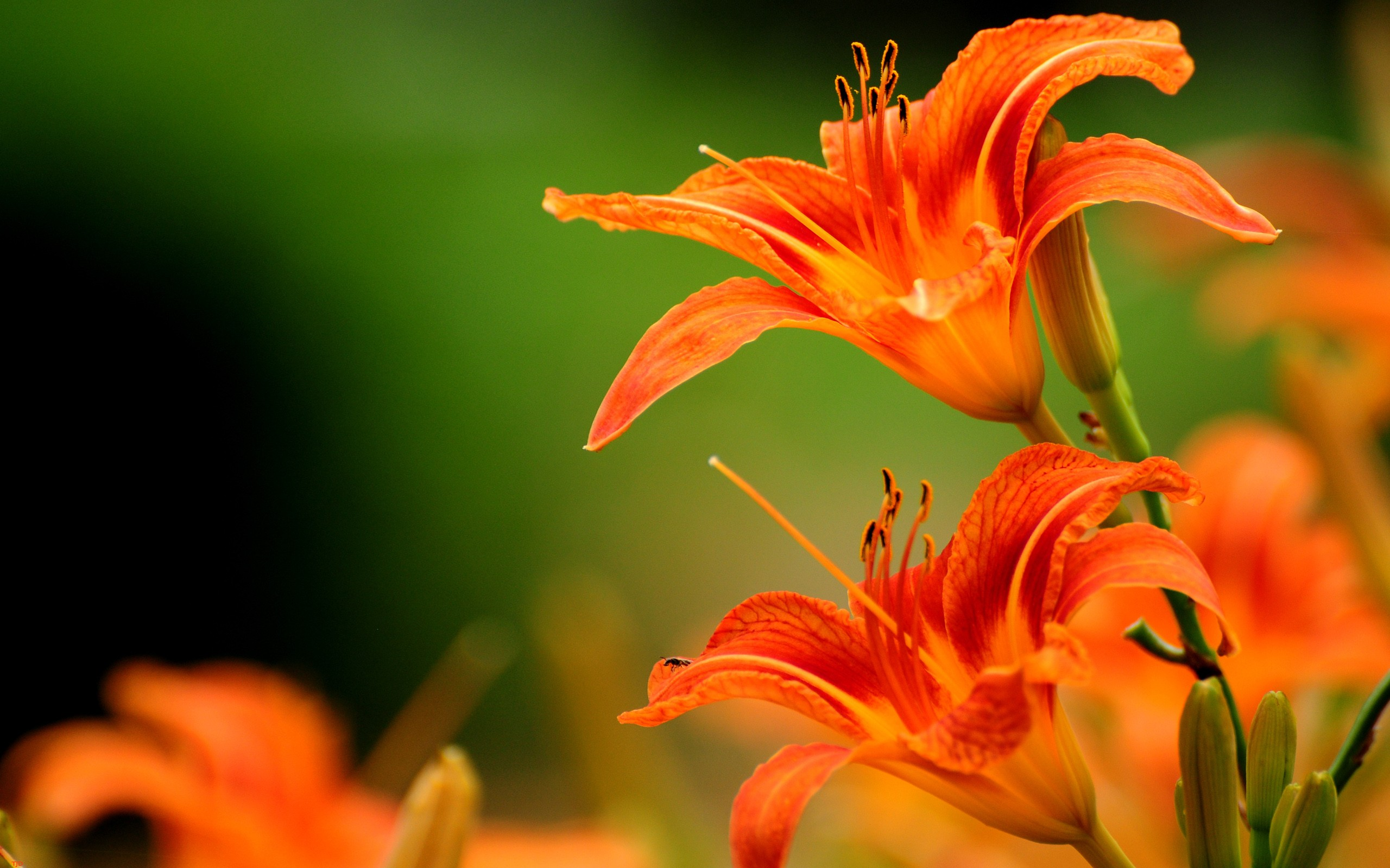 orange lilies orange flowers