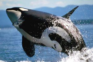 orca pics
