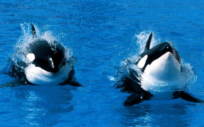 orca whale pictures