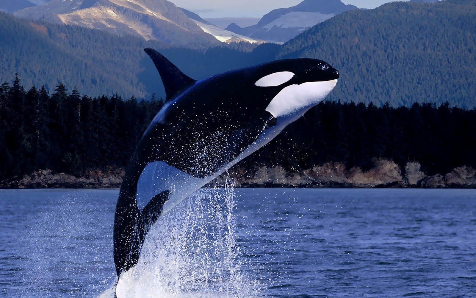 orcas pictures