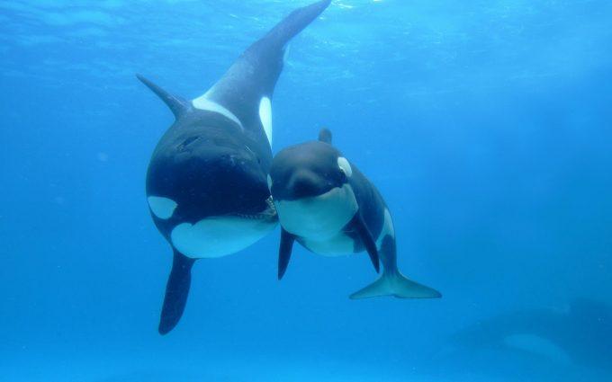 orcas wallpaper