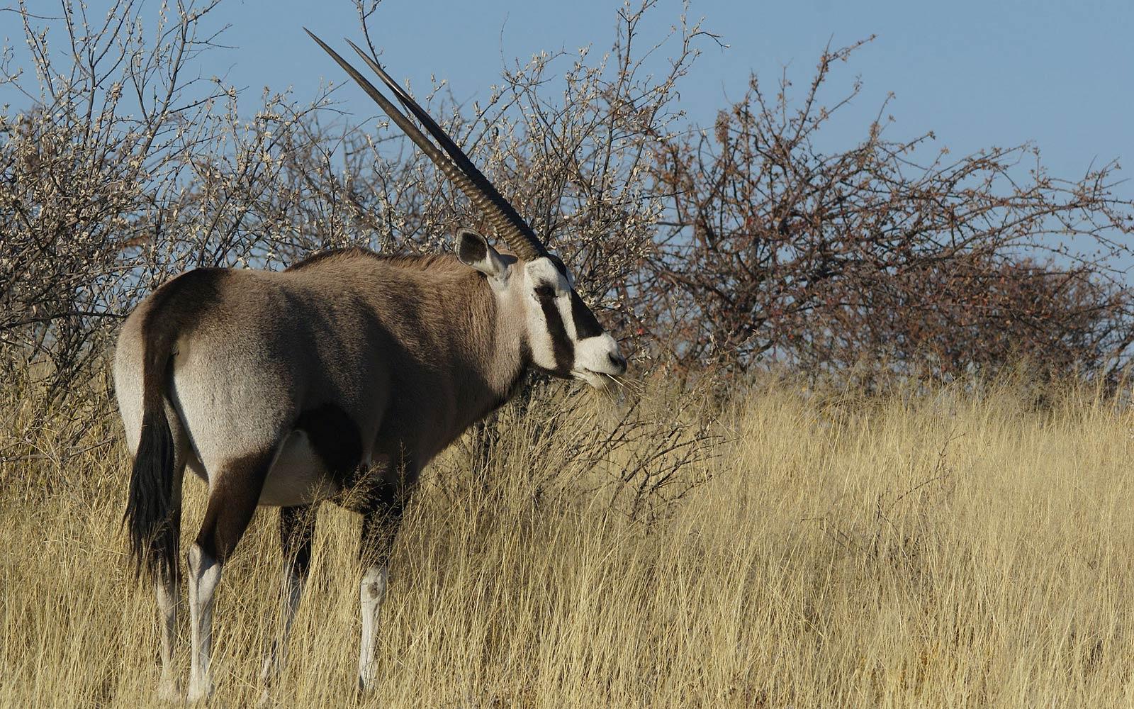 oryx wallpaper