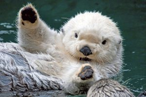 otter cute pictures
