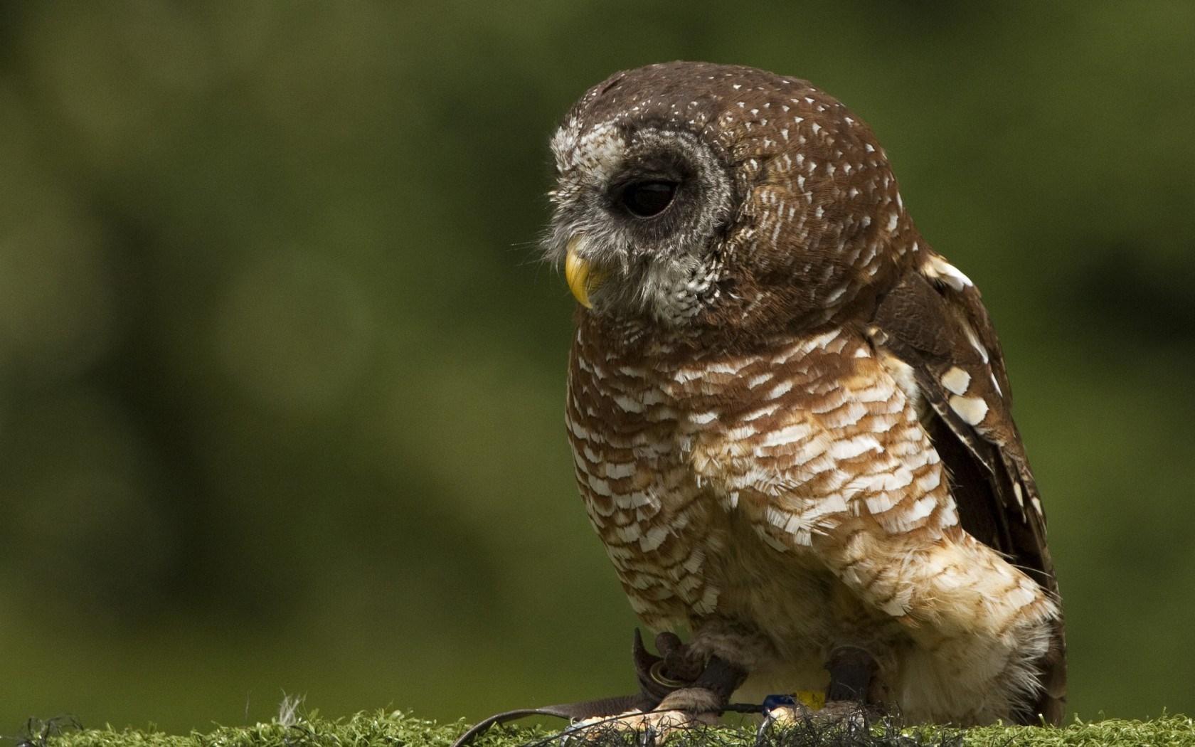 owl A1