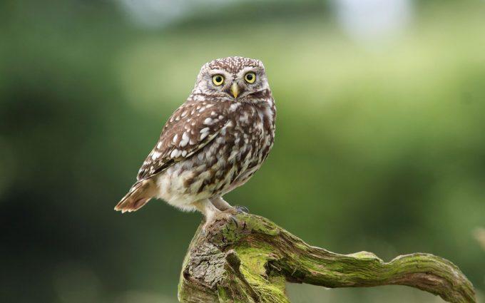 owl A2