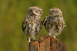 owl A6
