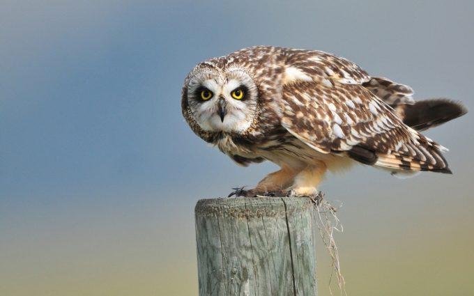 owl A8