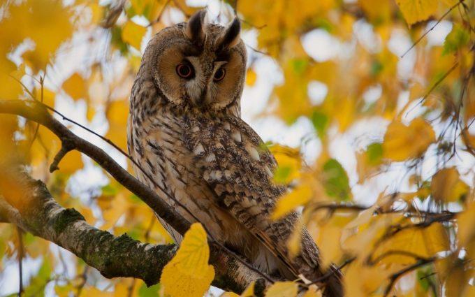 owl autumn