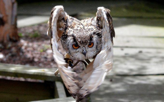 owl bird