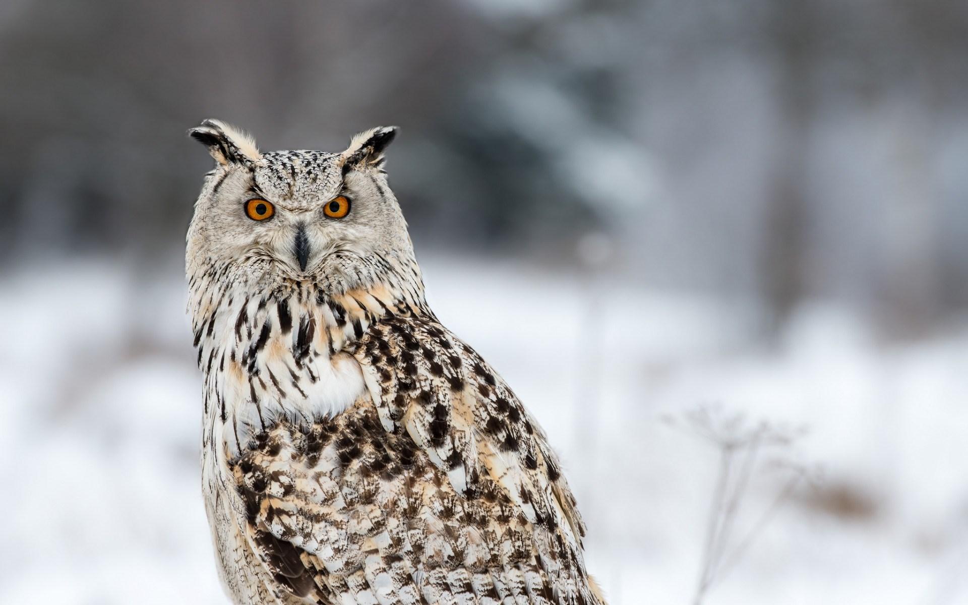 owl hd wallpaper