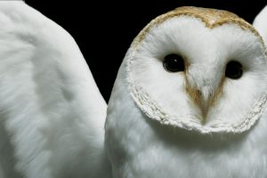 owl hd wallpapers