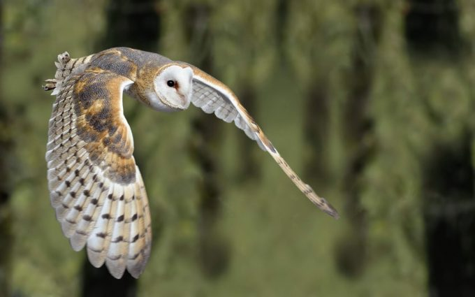 owl mafnificent