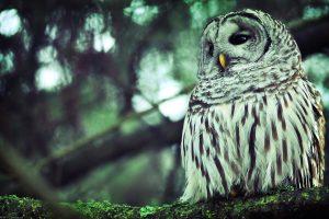 owl print wallpaper