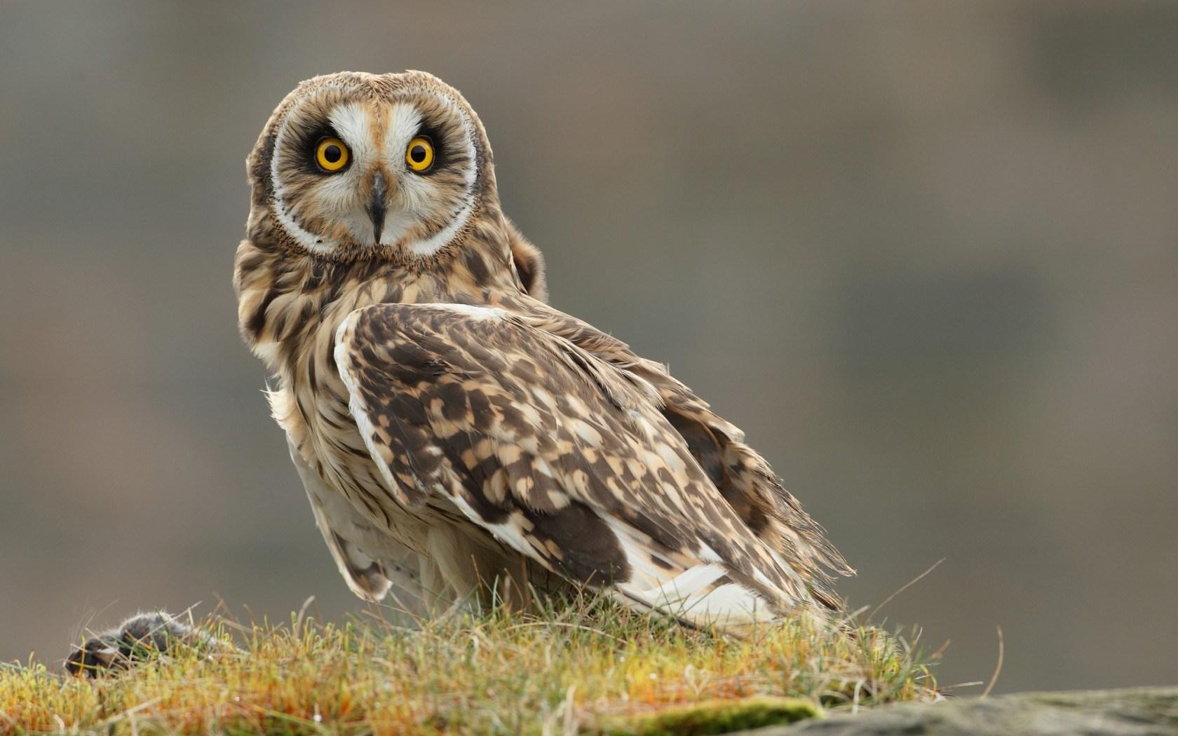 owl wallpaper A1