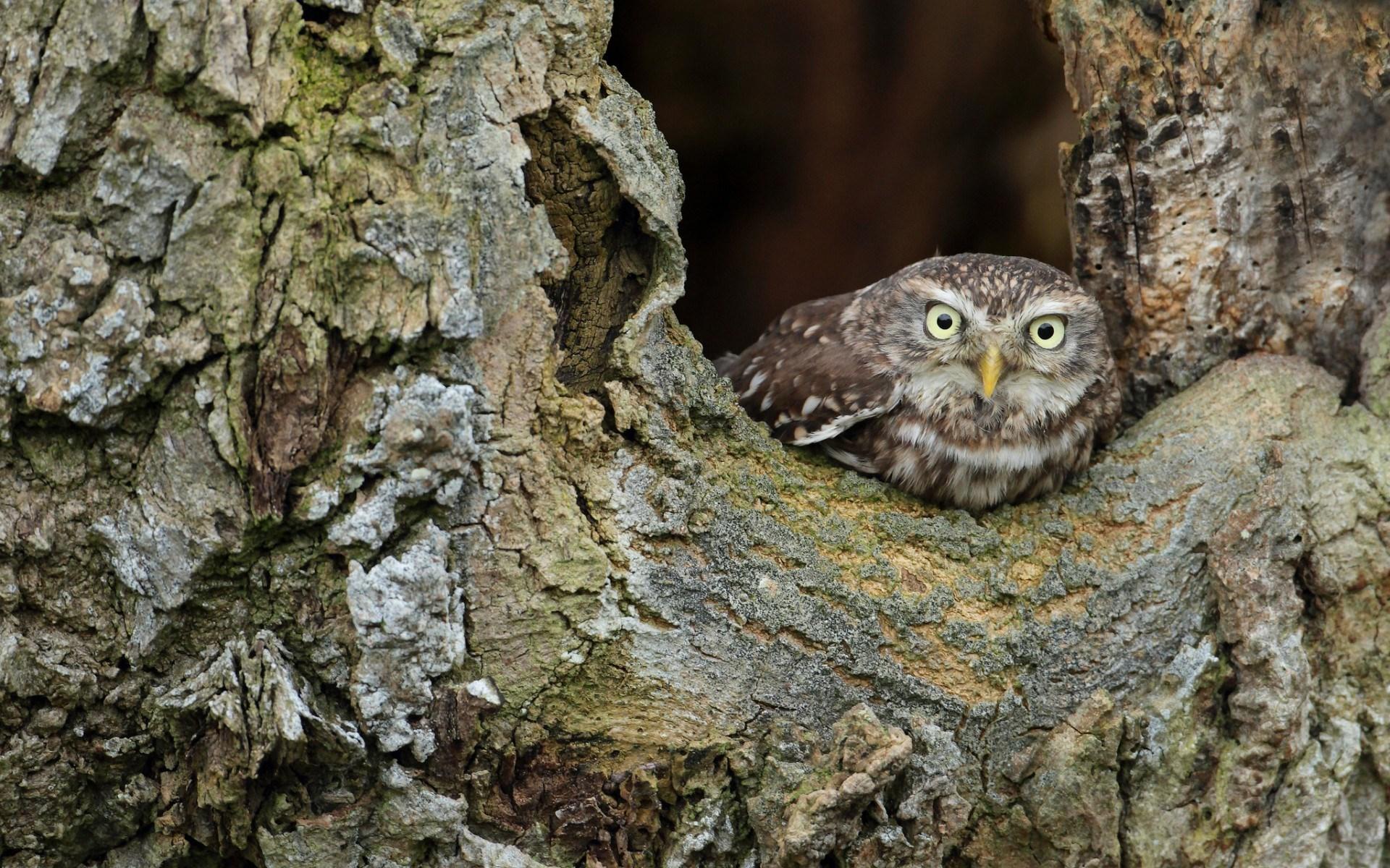 owl wallpaper A10