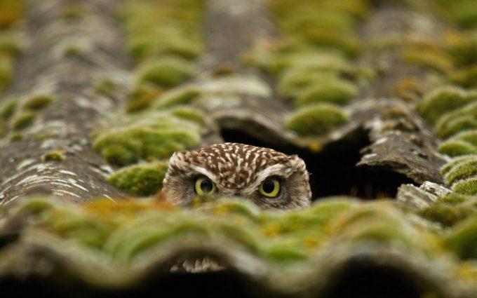 owl wallpaper A2
