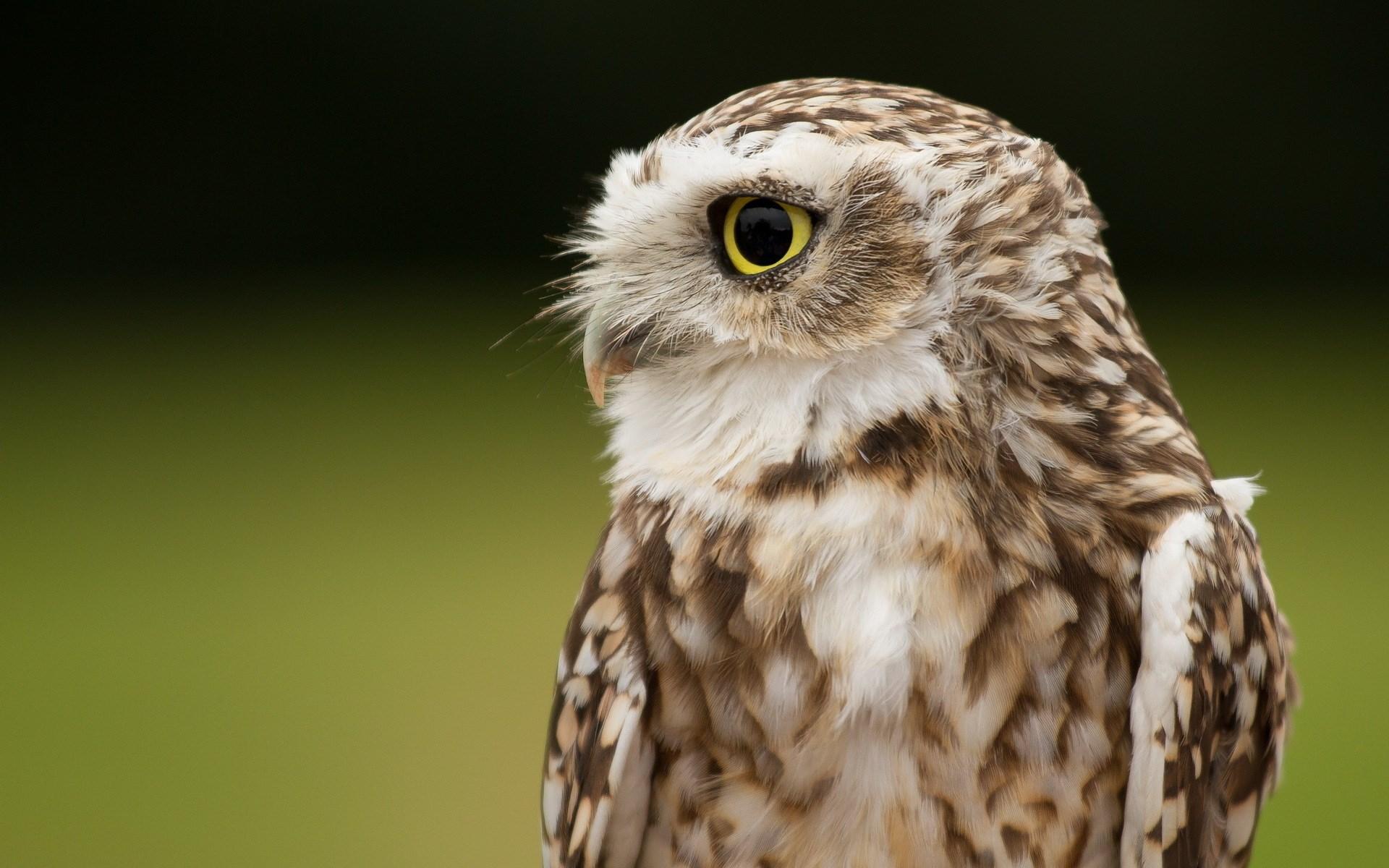 owl wallpaper A3