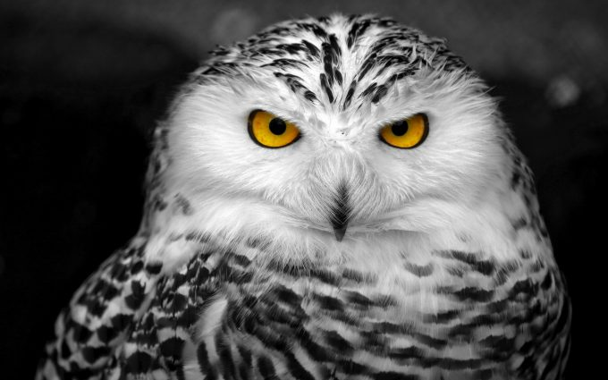 owl wallpaper A8