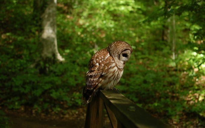 owl wallpaper A9