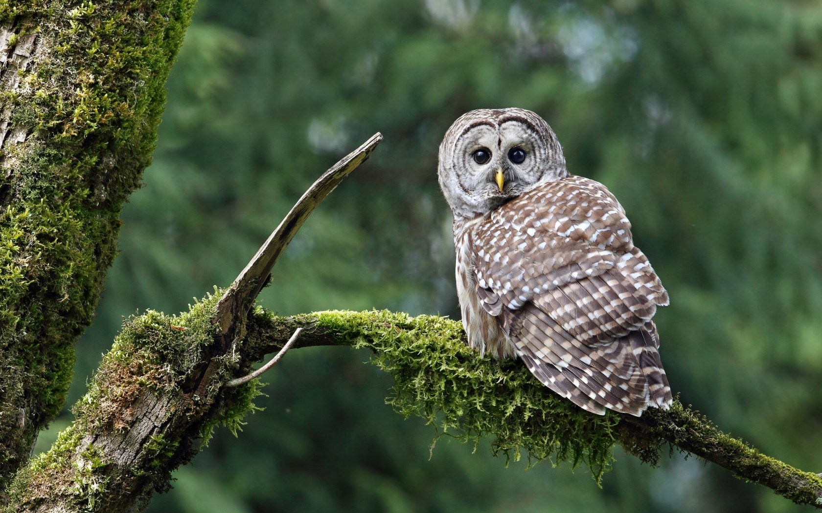 owl wallpaper download