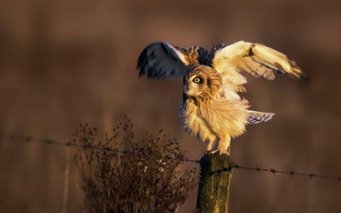 owl wild