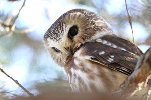 owl winter