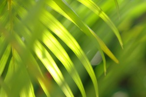 palm leaf pictures hd