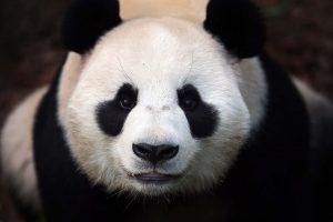panda hd images