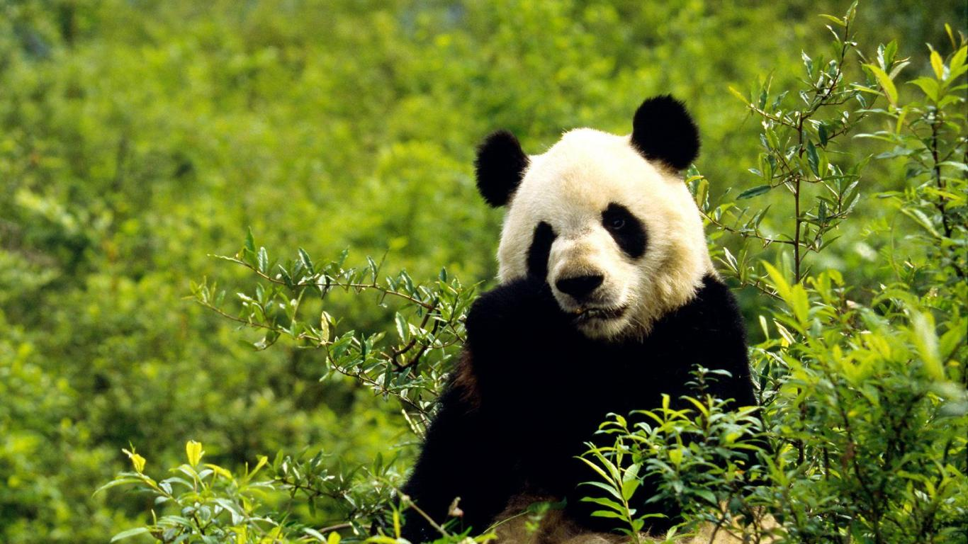 panda hd pictures
