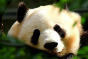panda hd wallpapers