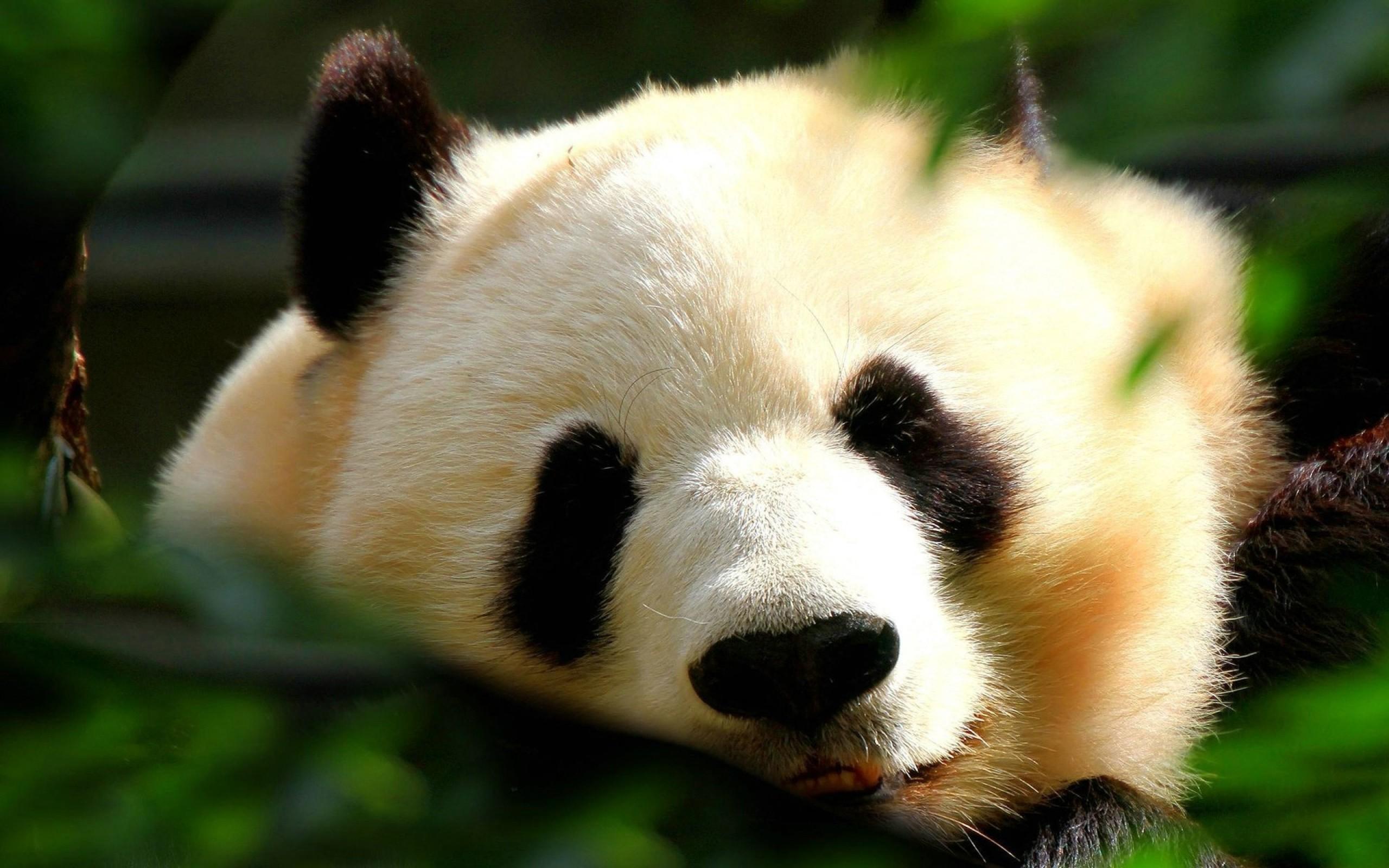 panda hd wallpapers