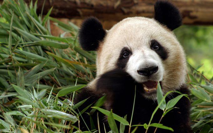 panda wallpaper desktop