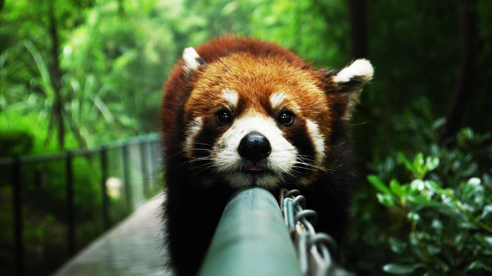 panda wallpapers for desktop