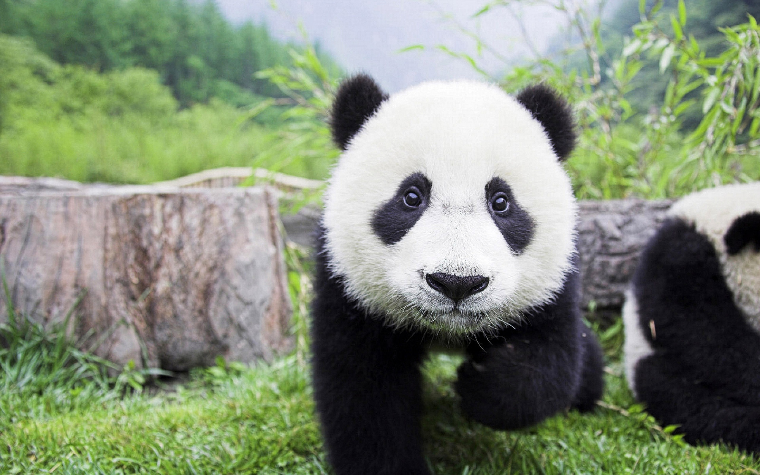 panda wallpapers hd